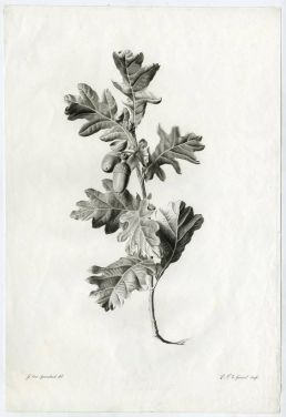 Pierre Francois le Grand, Untitled - Study of a branch of an oak tree., 1800